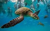 Wallpaper Hawksbill sea turtle, turtle, underwater, ocean ...