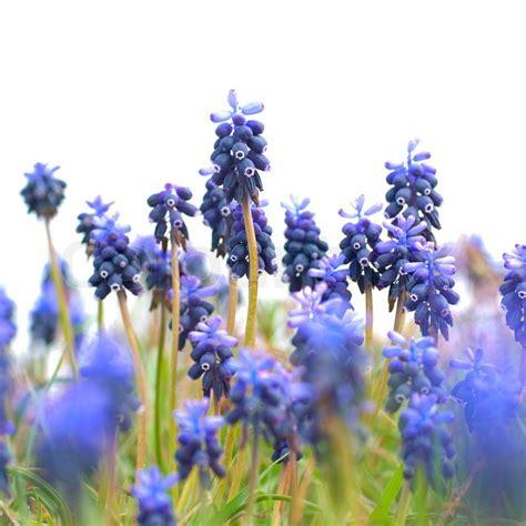 blaue blumen frühling blaue blumen hyazinthen auf dem gr 252 nen rasen stock foto