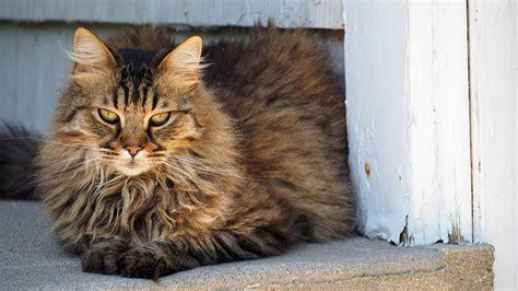 self cleaning litter box uk longhair cat cat breeds encyclopedia