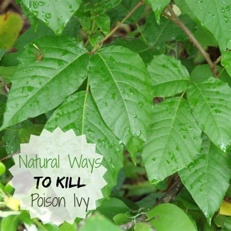 how to kill poison oak poison ivy prevention natural ways to treat this
