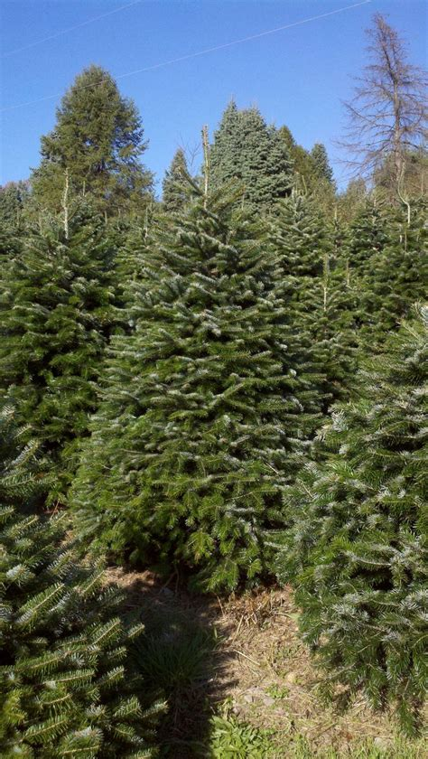 best 28 snohomish county christmas tree farms 100