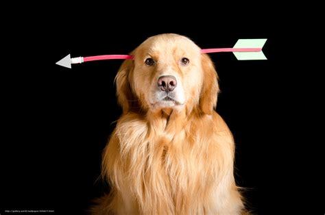 beau bureau tlcharger fond d 39 ecran labrador beau chien chien drôle