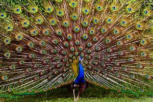 Peacock feather wallpaper |Funny Animal