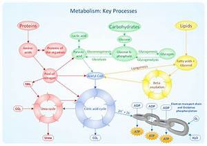 Metabolism  Biology And Pathways On Pinterest