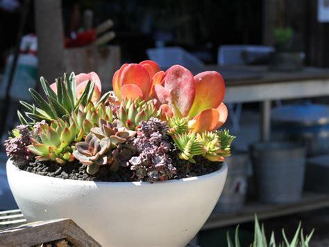 potting succulents indoors 9 secrets to growing succulents indoors gardenista