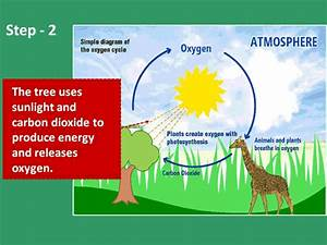 What Is Oxygen Cycle