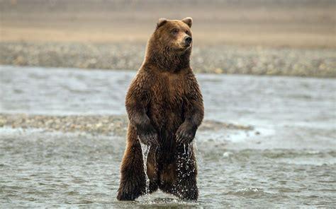 background   big bear standing    river hd bear