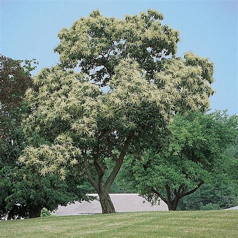 chestnut trees in chinese chestnut chestnut trees stark bro s