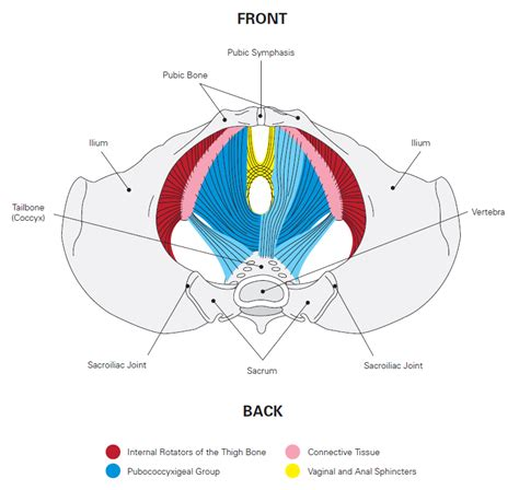 muscles of the pelvic floor quiz prenatal postpartum fitness exercise workouts resources