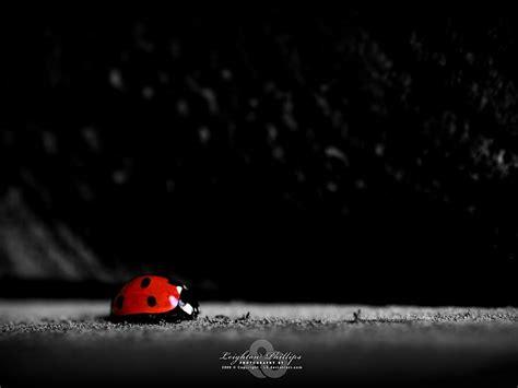 hd wallpaper ladybug fondos de pantalla gratis