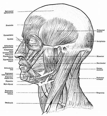 Muscles Anatomy Human Face Head Neck Drawing
