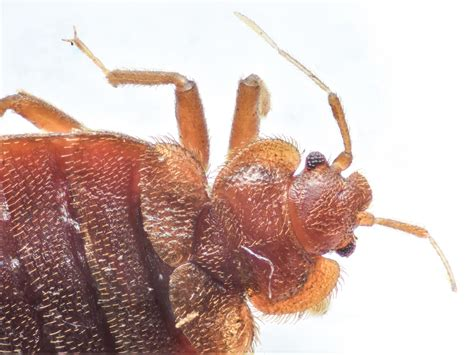 Where Do Bed Bugs Come From? Identify Bed Bugs Info