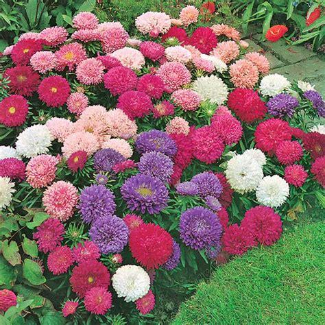 benih bunga petunia mixed jual benih seeds bibit flower bunga crego mix aster