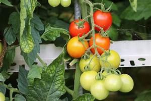 Tomatenblätter Rollen Sich Ein : tomaten gelbe bl tter warum bekommen meine tomaten gelbe ~ Lizthompson.info Haus und Dekorationen