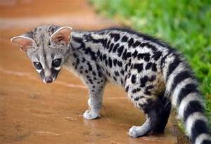 Genet Facts, History, Useful Information and Amazing Pictures