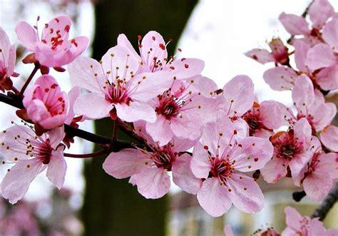 gambar wallpaper bunga sakura jepang cantik  ig keren