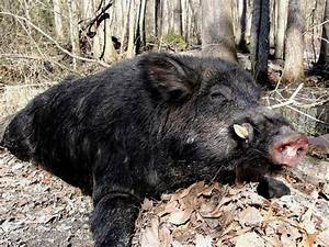 Hogzilla: Giant 36-stone wild boar shot by hunter after ...