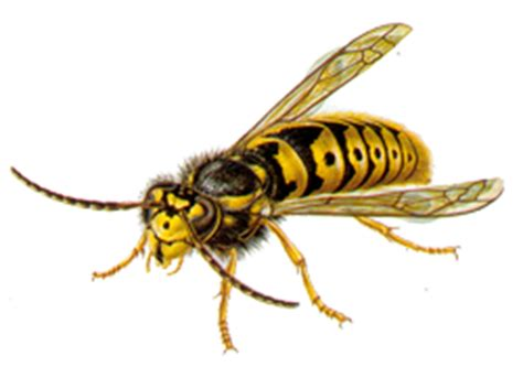 wespen und wespennester nitor