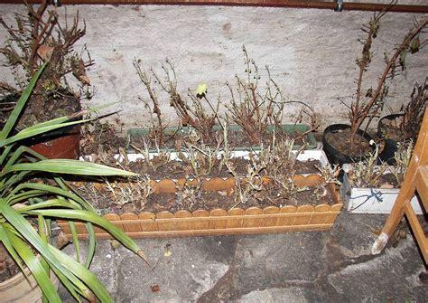 Geranien überwintern Im Blumenkasten by Pelargonien Im Blumenkasten
