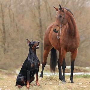 Guard Doberman | My Favourite Dog Breeds | Pinterest ...