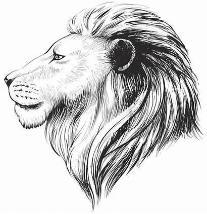 Lion Head Profile Lions Vector Drawn Illustration
