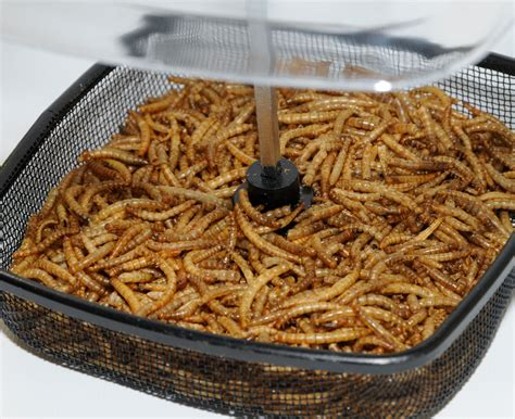 dried mealworms for birds twootz com