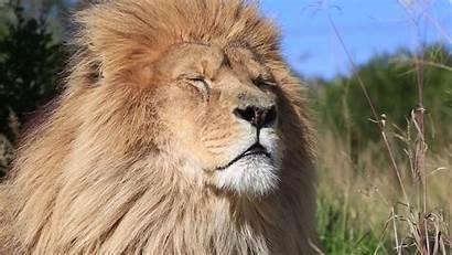 Lion African Leo Panthera Africa Wind Jungle