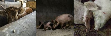 animal equality exposes cruelty  mexican slaughterhouses