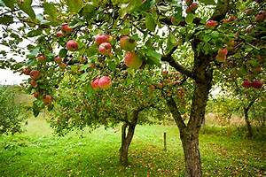 Apple Tree Pruning Guide
