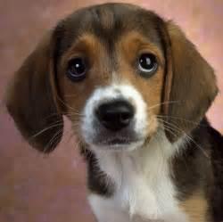 Puppy Beagle Dog