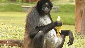 Spider monkey eating celery. - YouTube