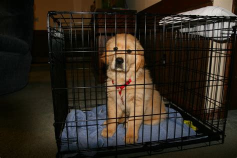 crate a puppy how to crate train a golden retriever puppy pethelpful