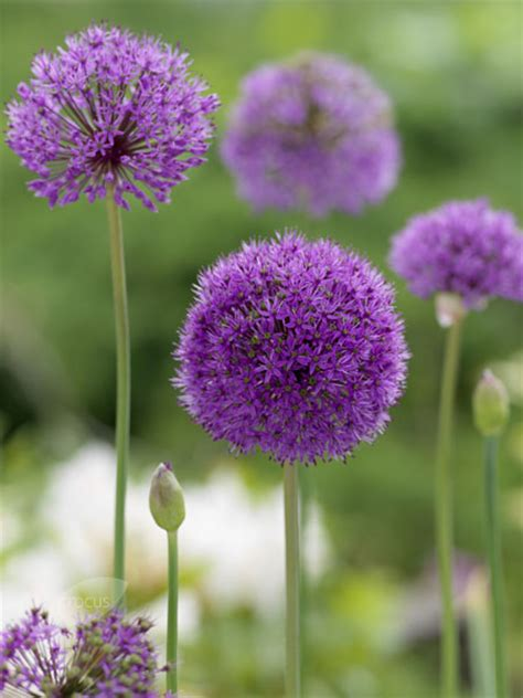 can you plant allium bulbs in buy allium bulbs syn aflatunense allium hollandicum aflatunense delivery by crocus