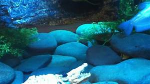 My Coffee Table Fish Tank With Musk Turtles And African