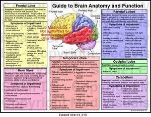 Frontal Temporal Parietal And Occipital Lobes Cerebellum