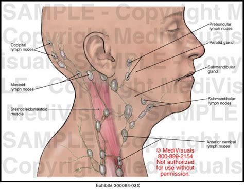 Neck Anatomy Lymph Nodes,