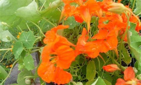 les fleurs comestibles en cuisine les fleurs comestibles au menu 1ere partie nathalie en