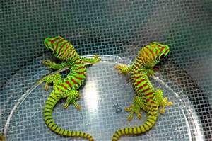 Anne s Reptile Team Blog Giant Day Gecko s