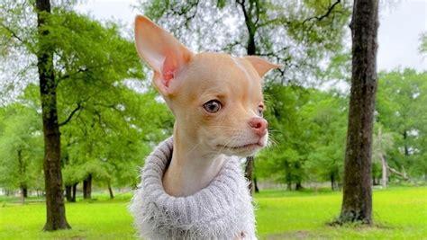 Upoznajte čivavu: najmanjeg i najvatrenijeg psa na svijetu ...