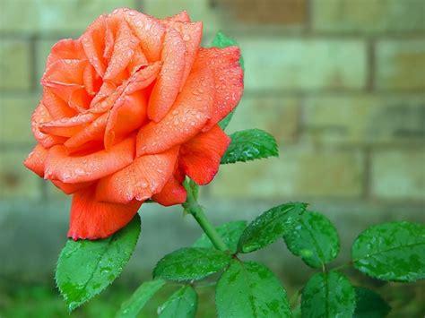 Beautiful Orange Roses Wallpapers by Beautiful Orange Flower Hd Wallpapers Hd Wallpapers