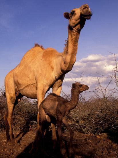 dromedary camel mother  baby nanyuki kenya