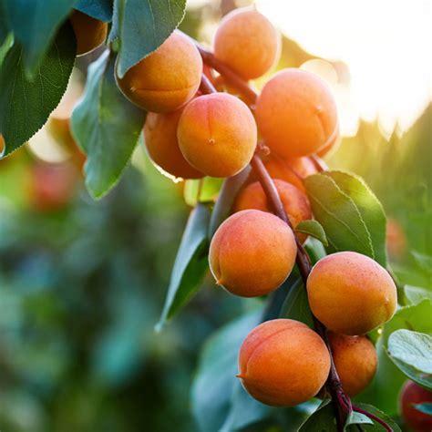 Wenatchee Moorpark Apricot Fruit Tree - One Green World
