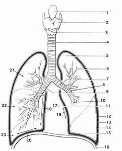 Diagram  Lungs Human Anatomy Diagram Simple