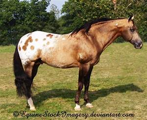 sooty buckskin spotted blanket - unknown horse | All the ...