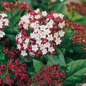 Schattenpflanzen Garten Winterhart : immergr ner winterschneeball 39 gwenllian 39 garten und pflanzentips pinterest ~ Sanjose-hotels-ca.com Haus und Dekorationen