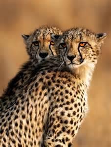 Cheetahs by Keith Rawlins
