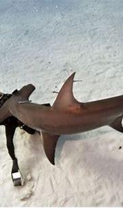Hammerhead Shark Pictures - We Need Fun