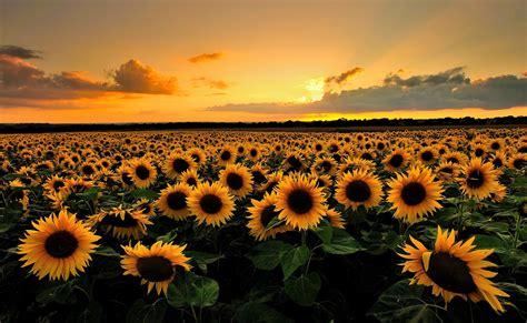 Hello August | Field wallpaper, Sunflower pictures ...