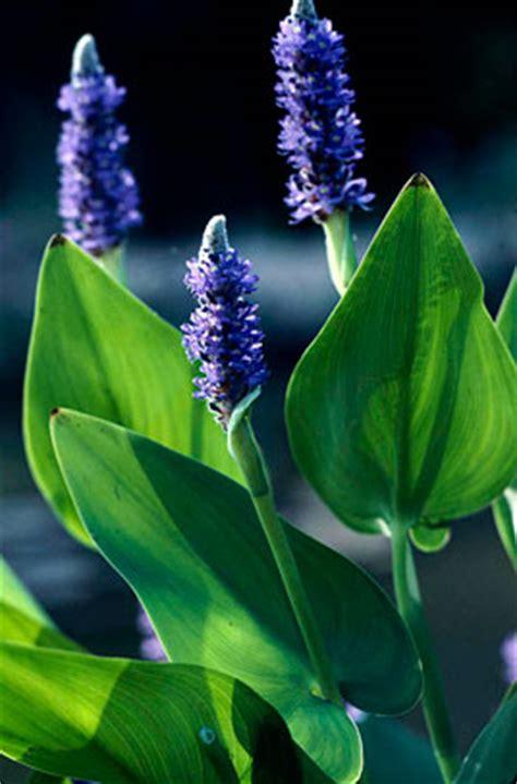 pontederia cordata pickerel weedrhs gardening