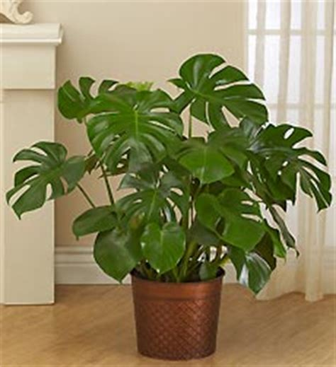 Grow Ls For House Plants by Pics For Gt Large House Plants